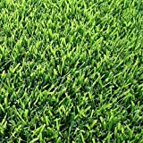 Zoysia Sod Plugs - Large 3'' x 3'' Plugs - 18 Count Tray - Drought, Salt & Shade Tolerant Turf Grass