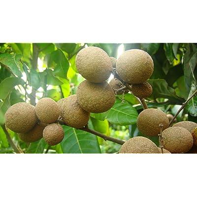 Fruit Tree Longan (Biew Kiew) Tropical 1 Pcs MG009 : Garden & Outdoor