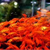 emuwai【生体】金魚 小赤 エサ用金魚 50匹 エサ用 観賞用
