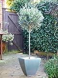 Olive Tree (Olea Europaea) 1/2 Standard