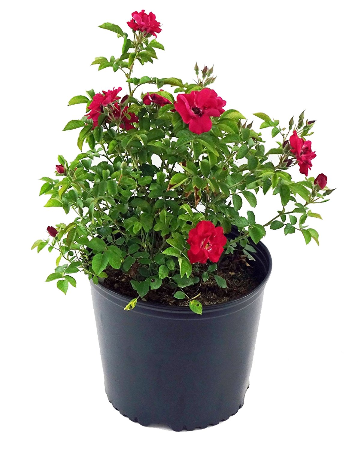 Rosa 'Blaze' (Climbing Rose) Rose, red Flowers, 3 - Size Container by Green Promise Farms