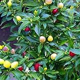 LOadSEcr's Garden 50Pcs Multicolor Pepper Organic