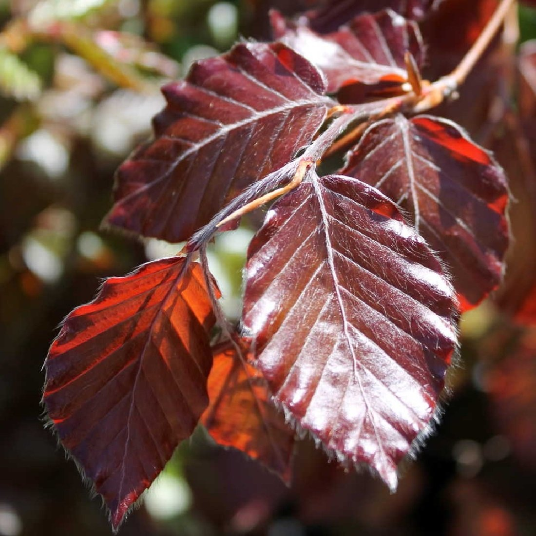 Frostharte Blutbuche Fagus Sylvatica purpurea ca. 120 cm Höhe in verschiedenen Mengen (20)