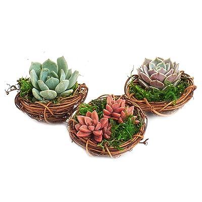 """Shop Succulents Spring Mini Bird Nest Succulent Planter Trio - Spring Home Decor - Succulent Office or Classroom Decor- 3"""": Garden & Outdoor"""