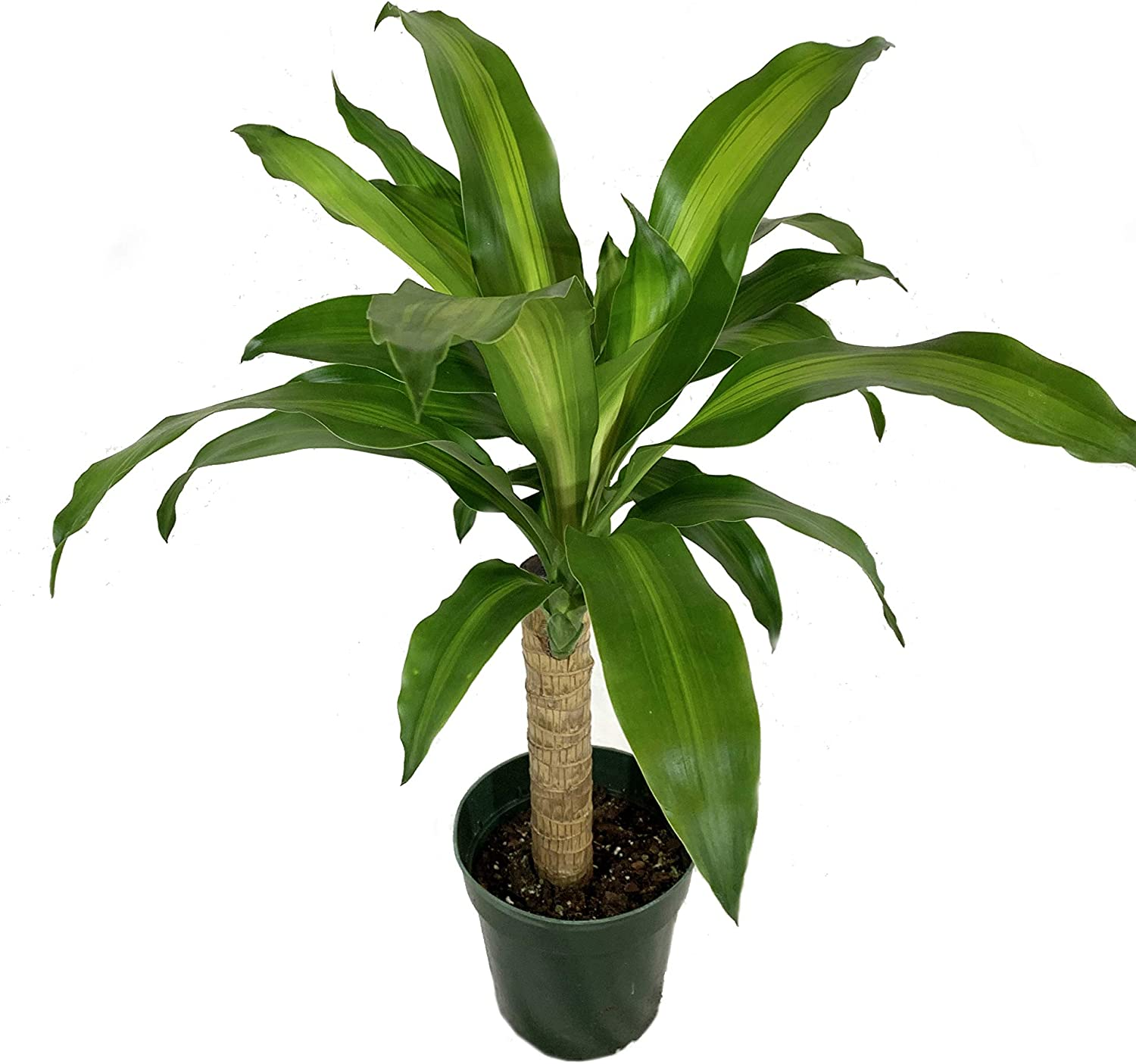 Amazon.com : Dracaena Mass Cane Corn Plant - Live Plant in a 6 Inch Pot -  Dracaena Fragrans - Beautiful Easy Care Air Purifying Indoor Houseplant :  Garden & Outdoor