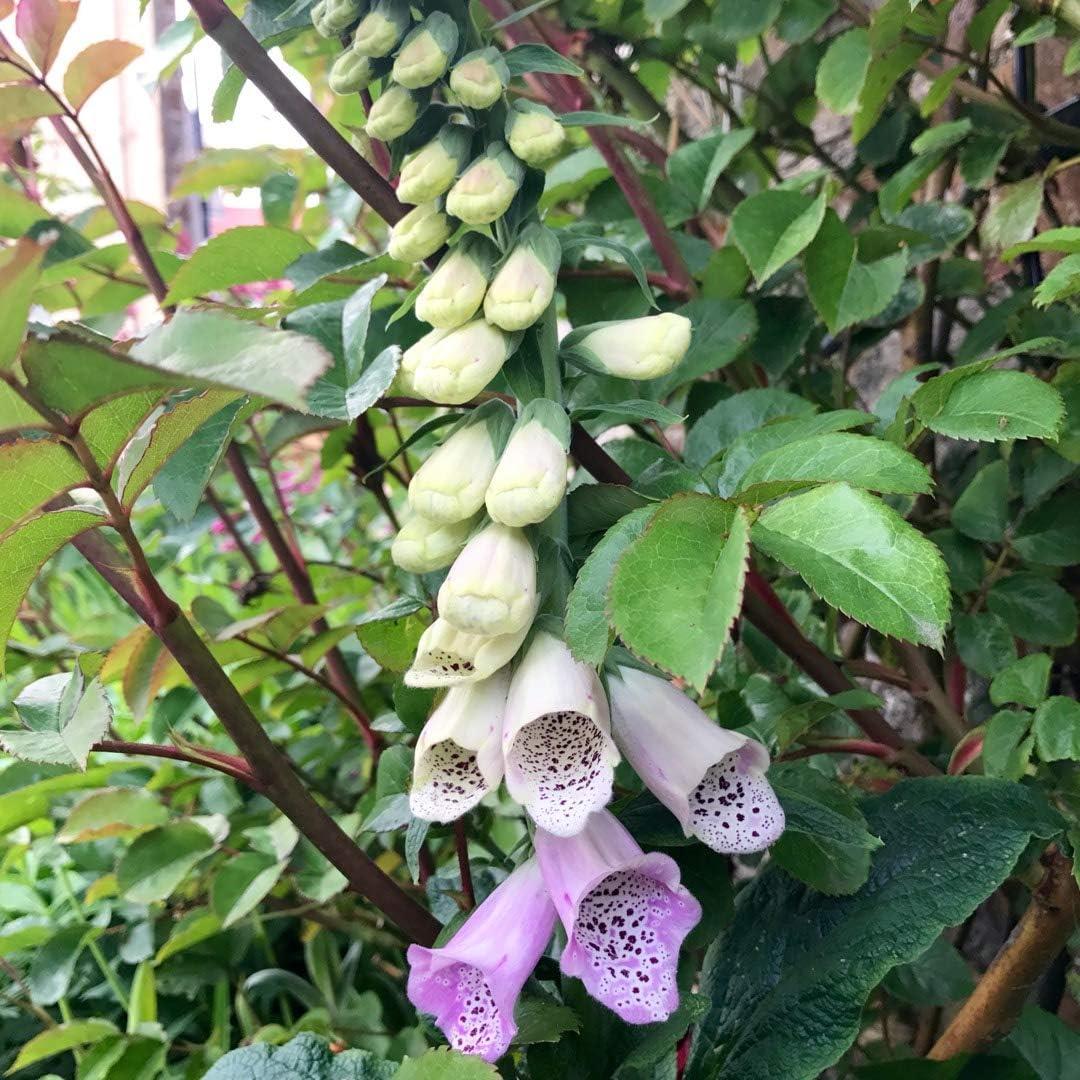 Digitalis purpurea Pams Choice Foxglove Plant in 9 cm Pot