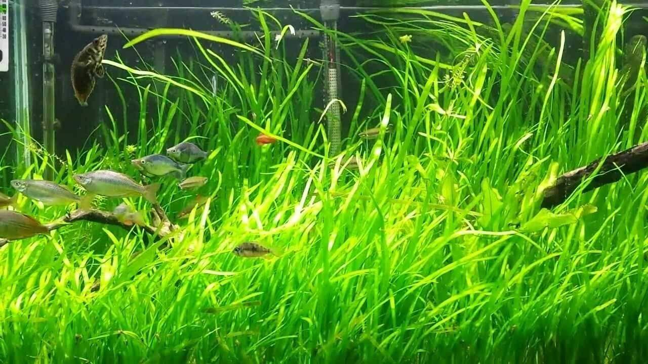 18 Jungle vals Vallisneria Easy Aquarium Plant aquascaping Planted Tank Easy by pakuda