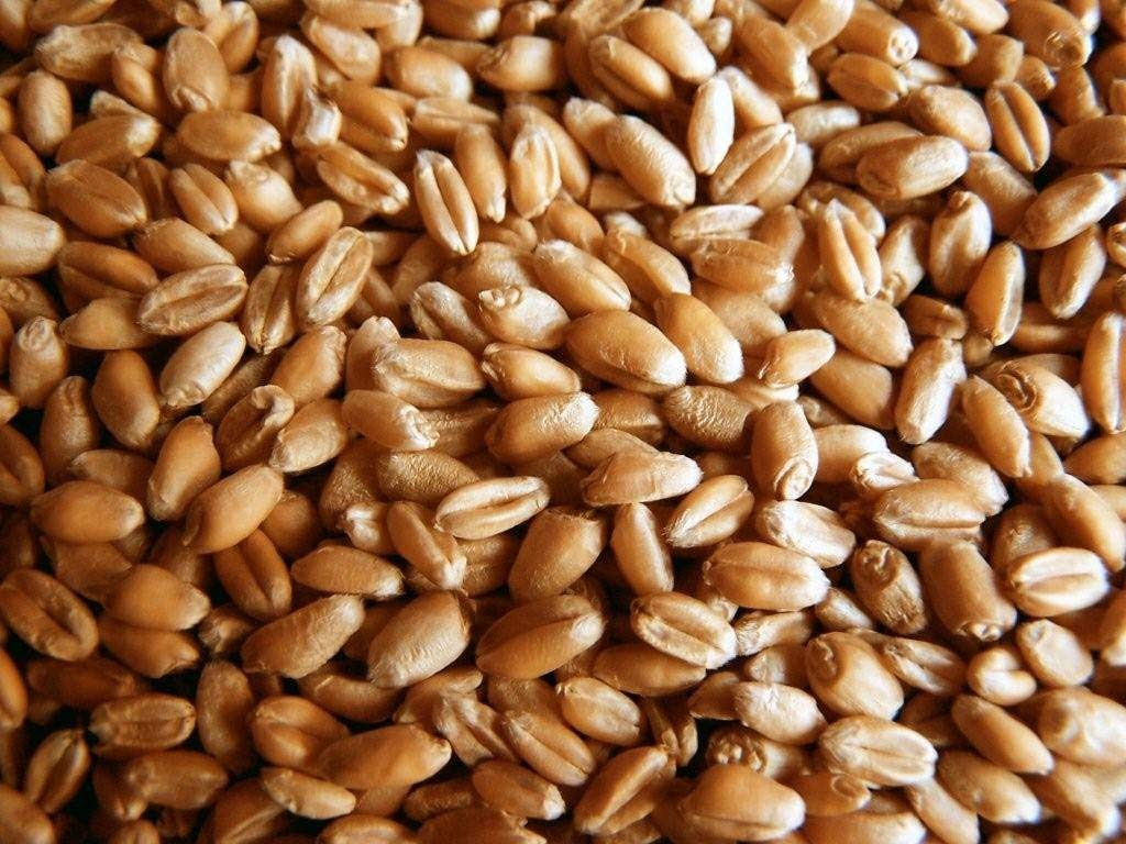 Certified Organic Wheatgrass Seeds for Sprouting 1lb