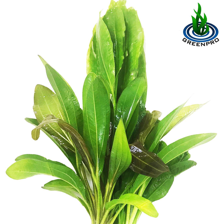Greenpro 3 Species Amazon Sword 10+ Stems Echinodorus Bleheri | Red Rubin | Parviflorus Rosette Easy Live Aquarium Plants Package by Greenpro