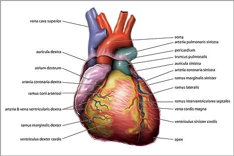 Amazon 16x24 Poster Anatomy Of The Human Heart In Latin