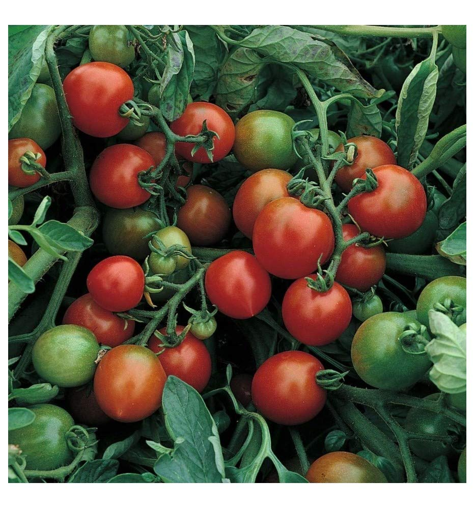 Ask Tomato Tumbler    100 seeds  Need More