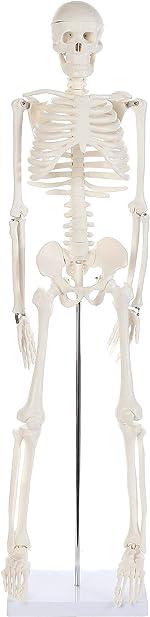 Anatomy Lab Human Skeleton Model, 34