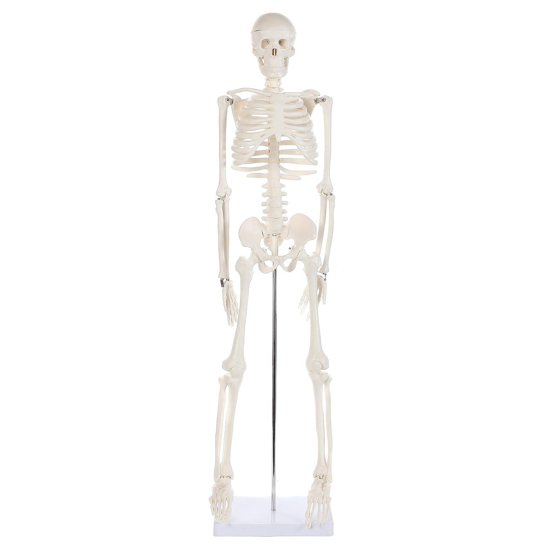 Amazon Anatomy Lab Half Life Size Human Skeleton Model Mini