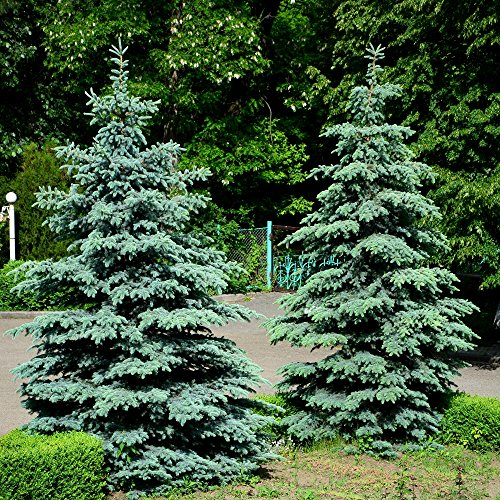 Blue Spruce, Colorado Blue Spruce seeds - Picea pungens ()