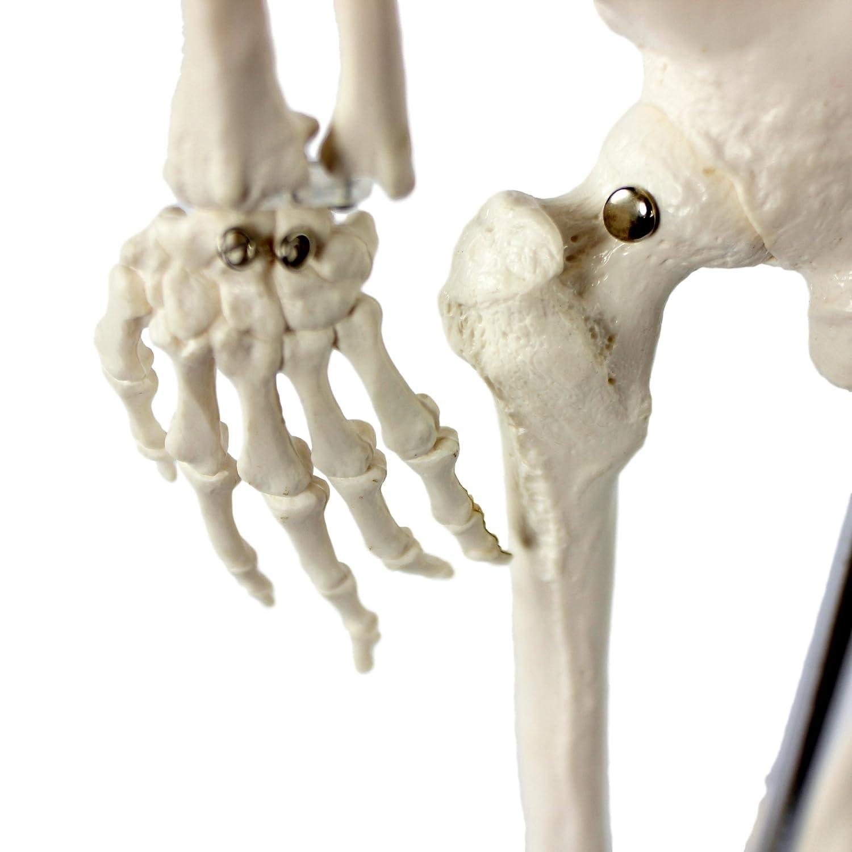 Cranstein A-117 Mini-Skelett Modell, 85cm - Anatomie-Modell als ...