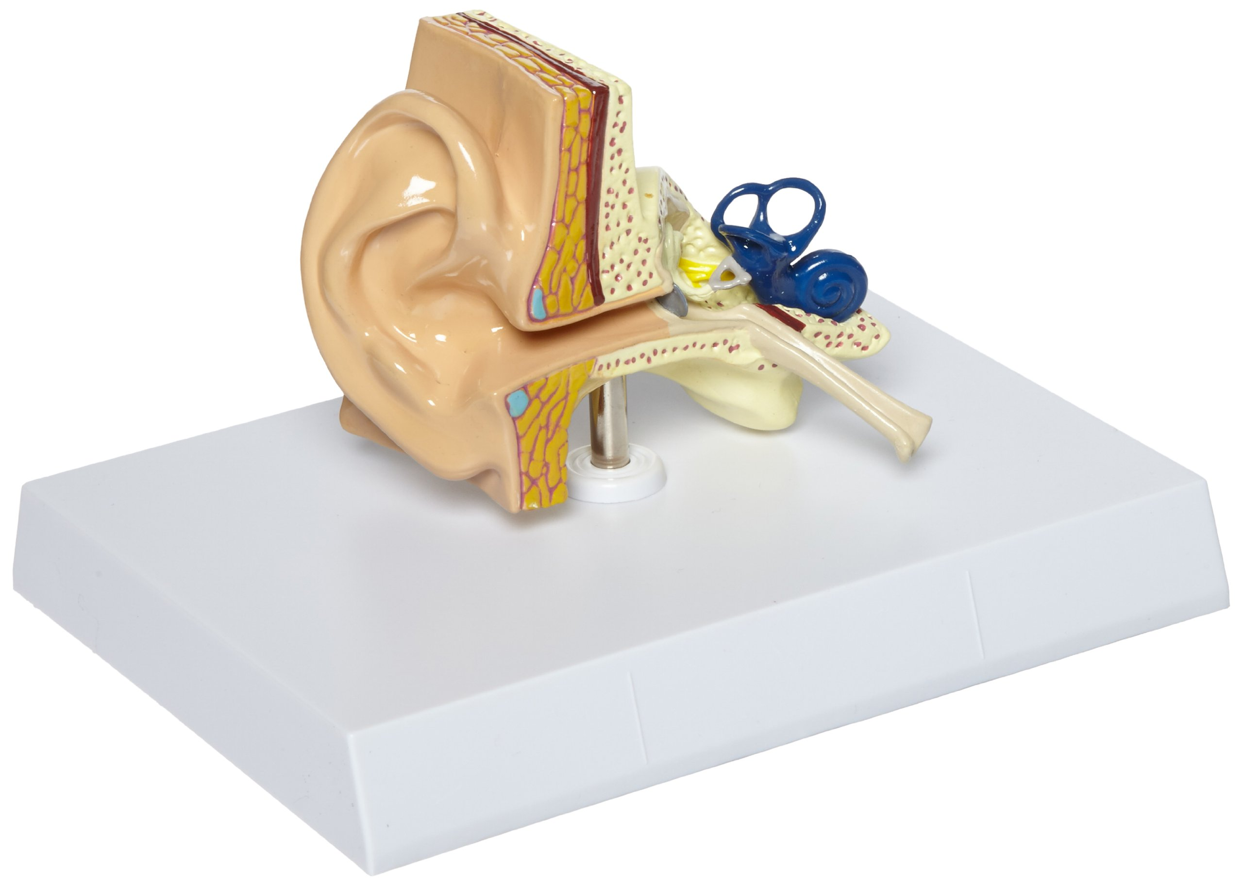 GPI Anatomicals Human Ear Model