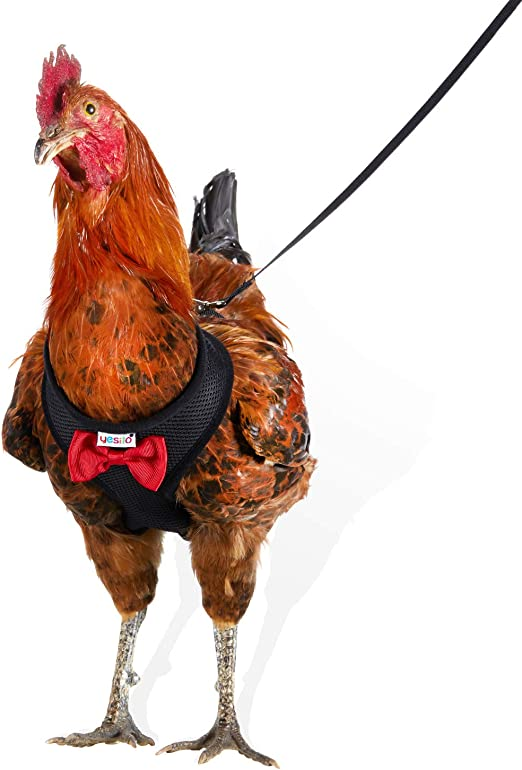 This chicken harness is attached to your birds using a clip which is made in a less complicated manner. This chicken harness will come with different sizes so that it can fit appropriately to the different types of your birds, the sizes will range from 2.3-3.8Ibs subsequently you can choose from the four different colors which come with these chicken harness which include: orange , pink, blue, orange and green.  The chicken harness has a loop which attaches to the clip on the lower part so as to easily control the movements made by the bird, the loop can be adjusted depending with the person's height. There is also the fabric that attaches the loop which holds the chicken or any other bird in a comfy manner while walking the birds, this fabric is made to last for longer periods of time since it is made with ultra –resilient material which is a type of fabric keeps the birds comfortable an able to breathe perfectly without any problems.