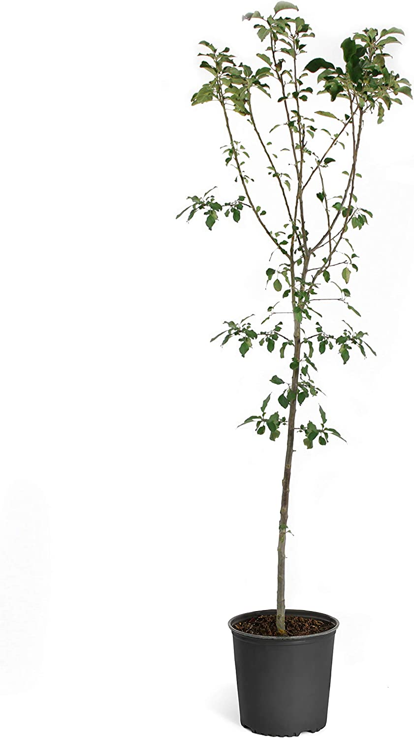 Brighter Blooms Anna Apple Trees - Branched, Developed Trees - More Branches Means More Apples (6-7 ft.)
