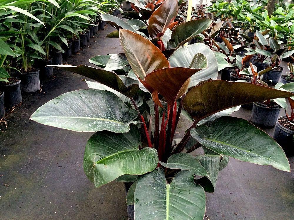 Philodendron Congo Red Premium Foliage Live Plant Fit 5 Gallon Pot