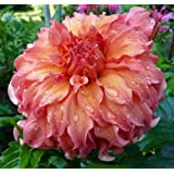 Moonlight Sonata Dinnerplate Dahlia - 2 Bulb Clumps
