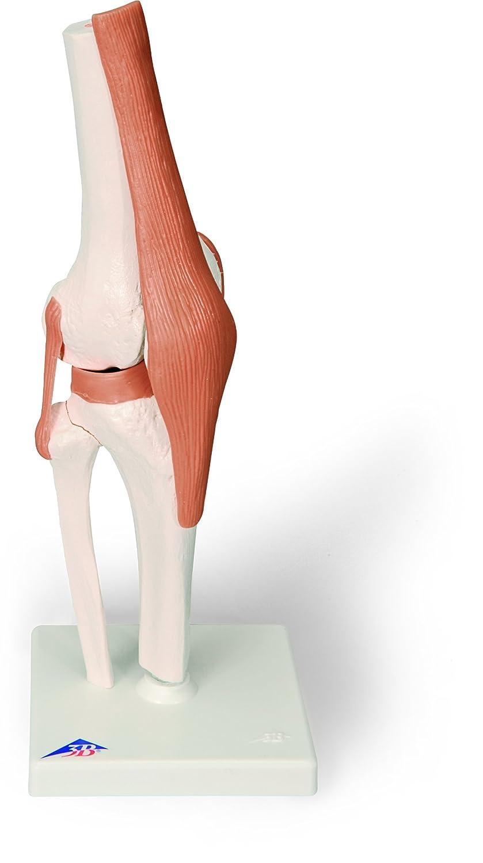 3B Scientific Menschliche Anatomie - Kniegelenk-Funktionsmodell ...