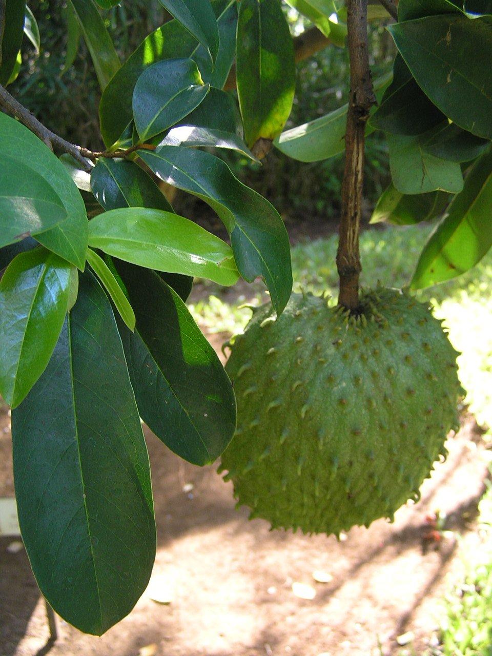 Asklepios-seeds® - 10 fresh seeds of Annona muricata Soursop, Graviola, Guanabana