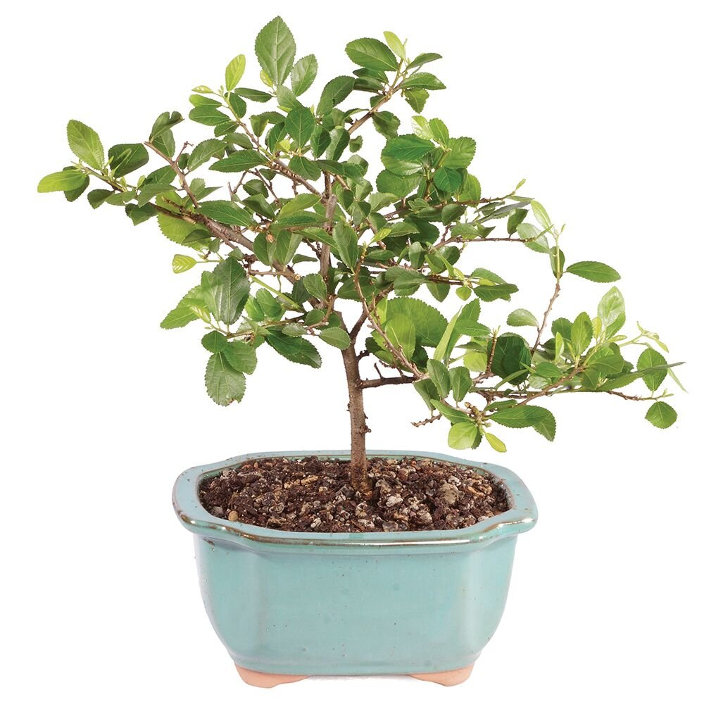 Brussel's Bonsai Live Dwarf Grewia 'Star of David' Indoor Bonsai with Decorative Container