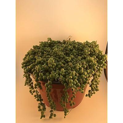 "1 Succulent Plant 8"" Pot Full Senecio Rowleyanus String of Pearls Garden tkena : Garden & Outdoor"