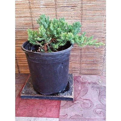 Juniper Bonsai Trees (Pre-Bonsai 4 to 5 Yrs) Plant BSG11: Garden & Outdoor