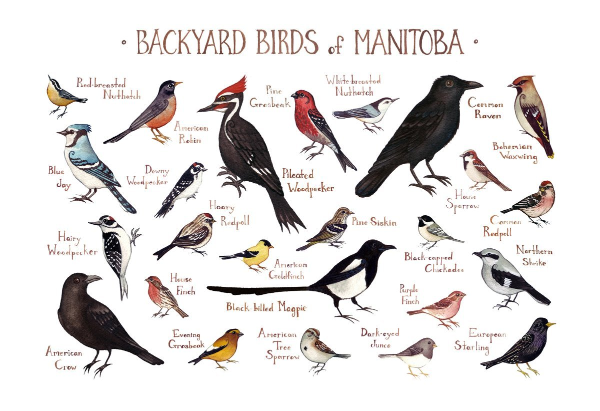 amazon com backyard birds of manitoba canada field guide art