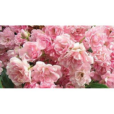 1 Plant Pink Earthkind Rose 2 Gallon Size Shrub Roses Plant Outdoor Gardening tktreas : Garden & Outdoor