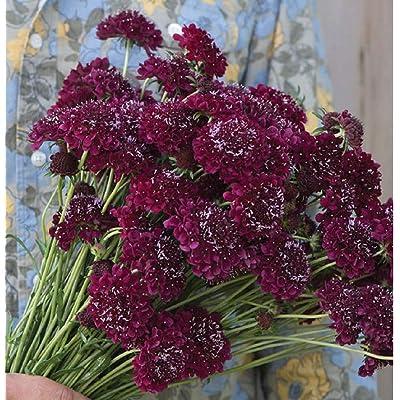 David's Garden Seeds Flower Scabiosa Merlot Red SL0491 (Red) 50 Non-GMO, Open Pollinated Seeds : Garden & Outdoor