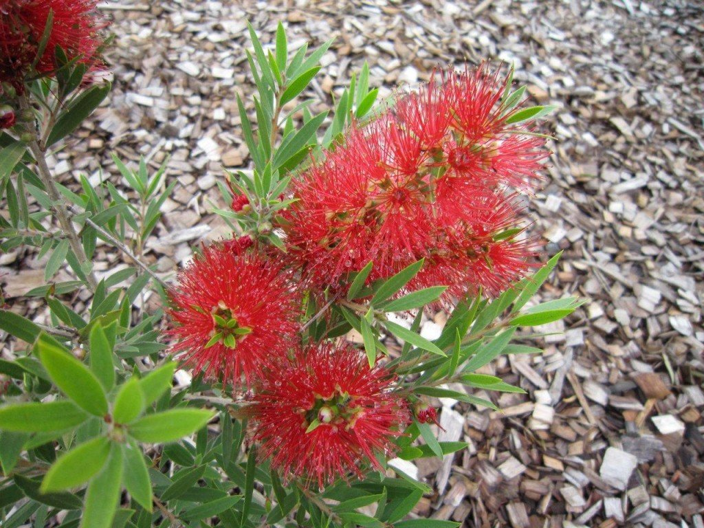 Picture of Live Dwarf Bottlebrush aka Callistemon x 'Scarlet Flame' TM Plant Fit 5 Gallon Pot