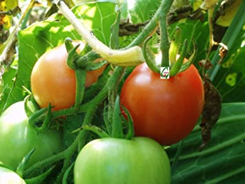 Seedstores : Hybrid Tomato Seeds For Terrace Top Balcony Poly House Kitchen  Gardening 100 Nos