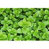 """LIVE Mint Spearmint Herb Plant - Organic NON-GMO - 2 (TWO) Plants Fit 3.5"""" Pot"""