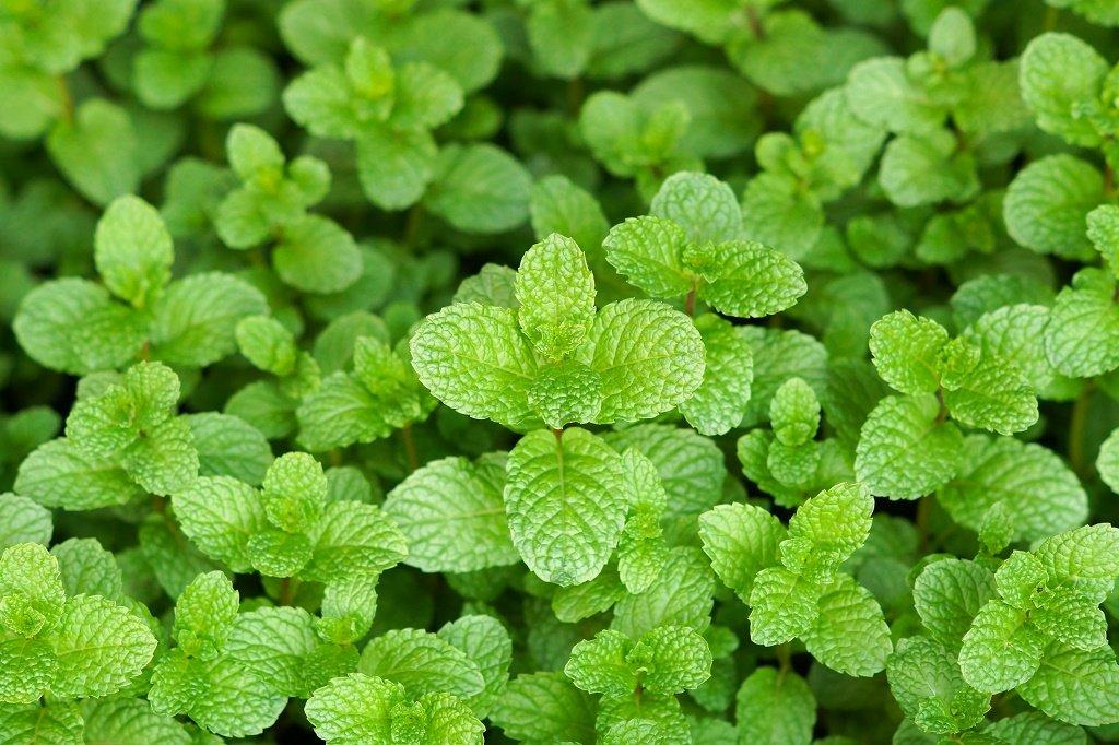 LIVE Mint Spearmint Herb Plant - Organic NON-GMO - 2 (TWO) Plants Fit 3.5'' Pot