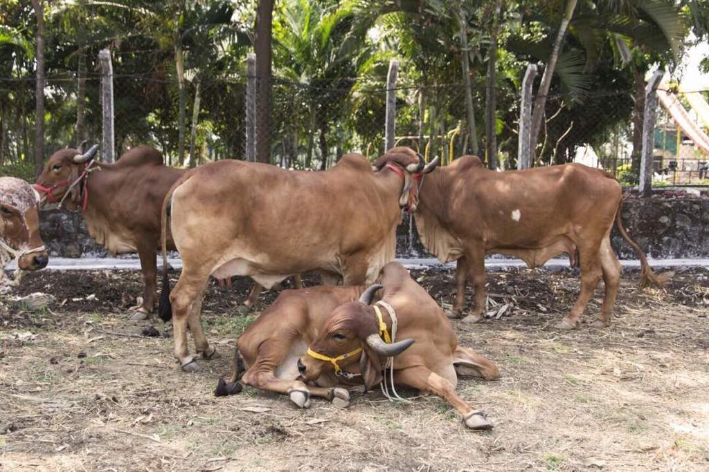A2 Ghee Desi Gir Cow's Vedic Traditional Grassfed Ayurvedic Medicinal Ghee, 16.9 OZ