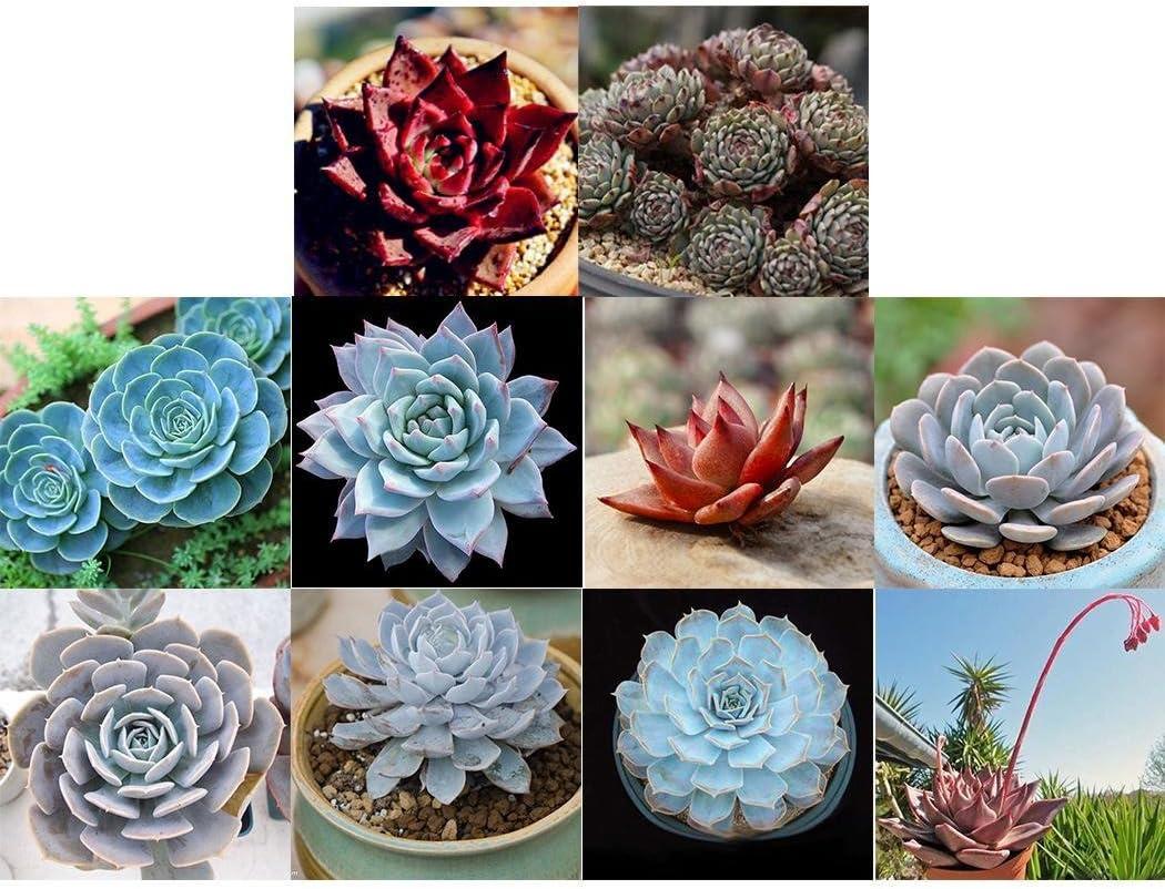 piante da interno succulente per balcone aloe barbadensis semi di piante bonsai di pronto soccorso Kisshes Giardino 100 pezzi di semi di aloe vera giardino casa.