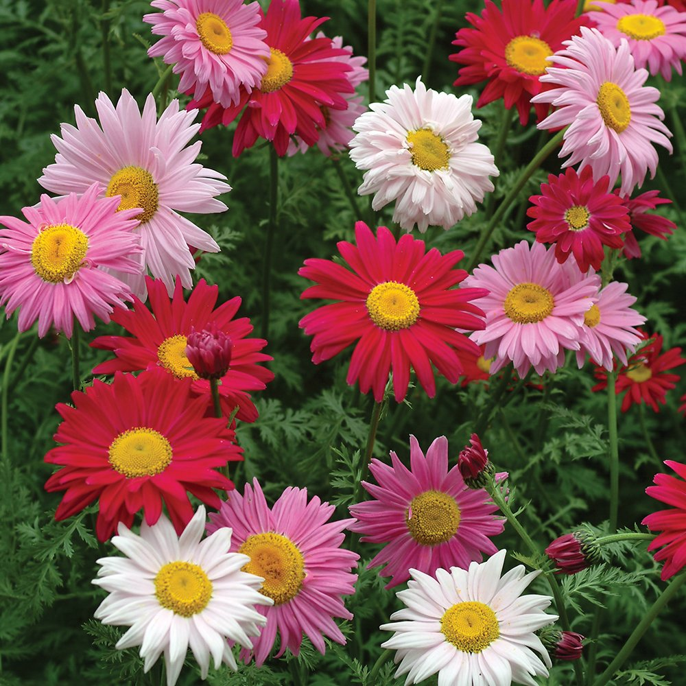 Amazon.com : Burpee Mixed Colors Painted Daisy Seeds 100 seeds ...