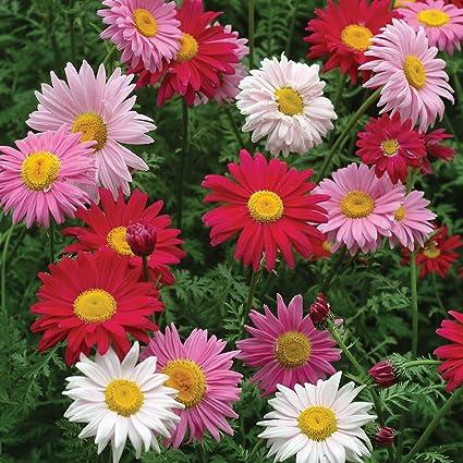 Chrysanthemum Robinson Rose 200 Seeds