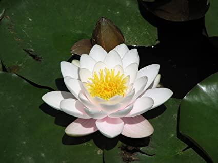 Amazoncom 10 White Color Lotus Flower Seeds Fresh White Color