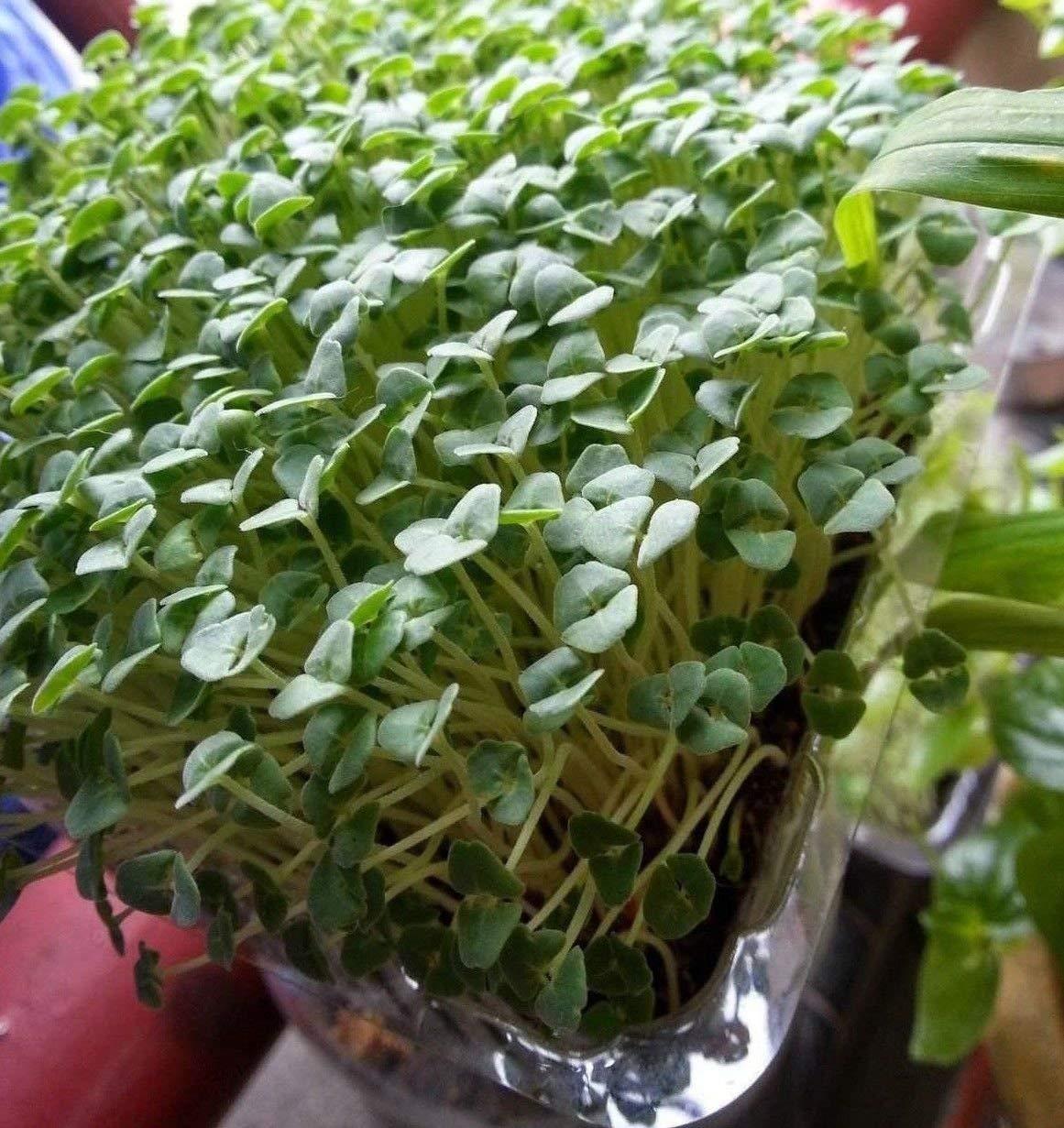 GEOPONICS Chia hianica 1000 semillas no GMO ez Grow CombH E24 ...