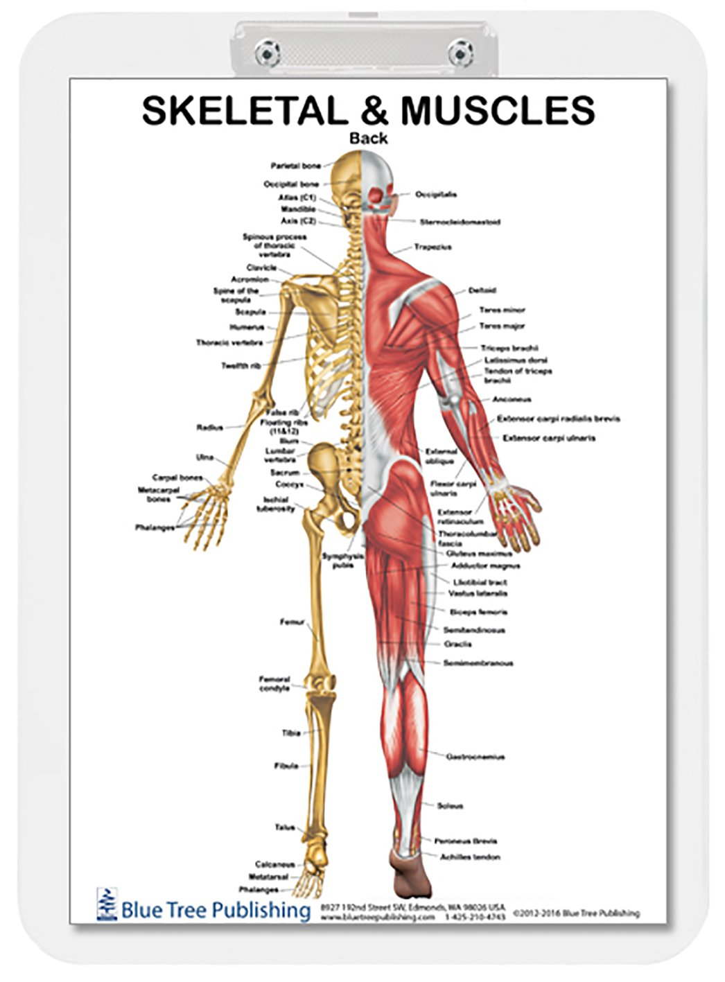 Muscle Anatomy and Skeletal Dry Erase Clipboard two sided (Muscle ...