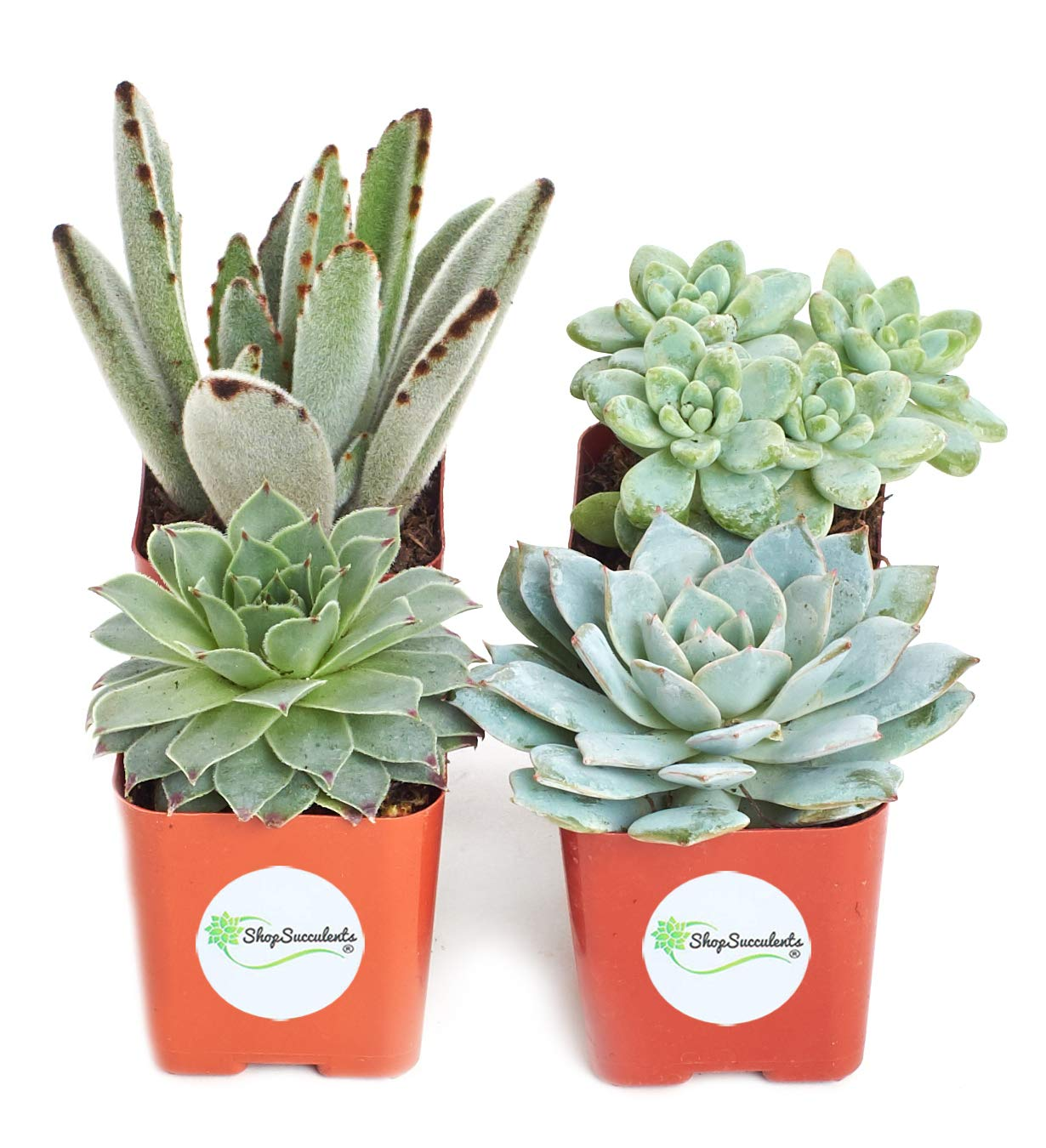 Shop Succulents | Blue/Green Live Plants, Hand Selected Variety Pack of Succulents | | Collection of 4 in 2'' pots, Pack of 4