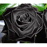 Rose noire - 20 graines