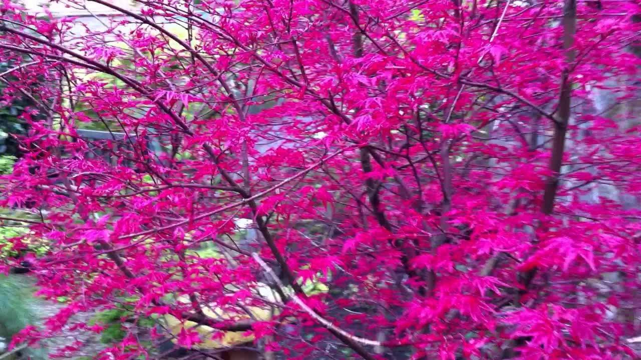 Amazon Com Corallinum Japanese Maple Acer Palmatu Corallinum