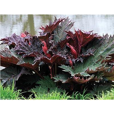 10 Chinese Rhubarb Seeds-rheum Palmatum-ornamental Rhubarb, Turkey, Indian Rhubarb : Garden & Outdoor
