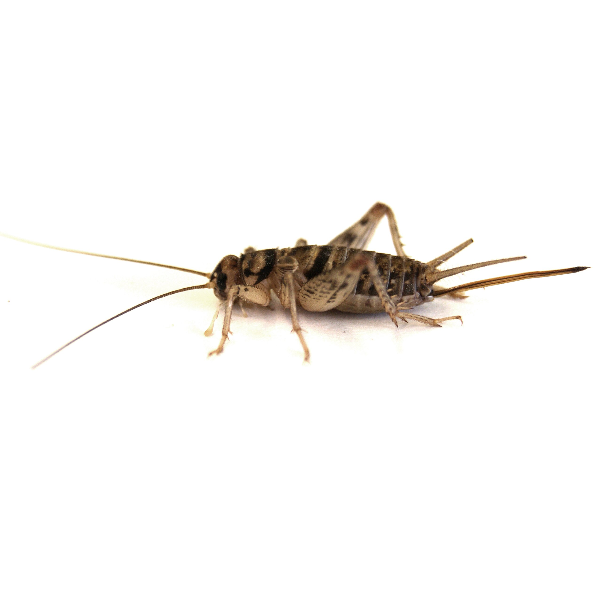 Josh's Frogs 1/2'' Banded Crickets (250 Count)