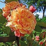 Kletter-Rose Aloha in Rot & Apricot-Rosa Nuancen - Duft Kletterrose Pflanze als Rankhilfe wurzelnackt / Wurzelware von Garten Schlüter - Pflanzen in Top Qualität