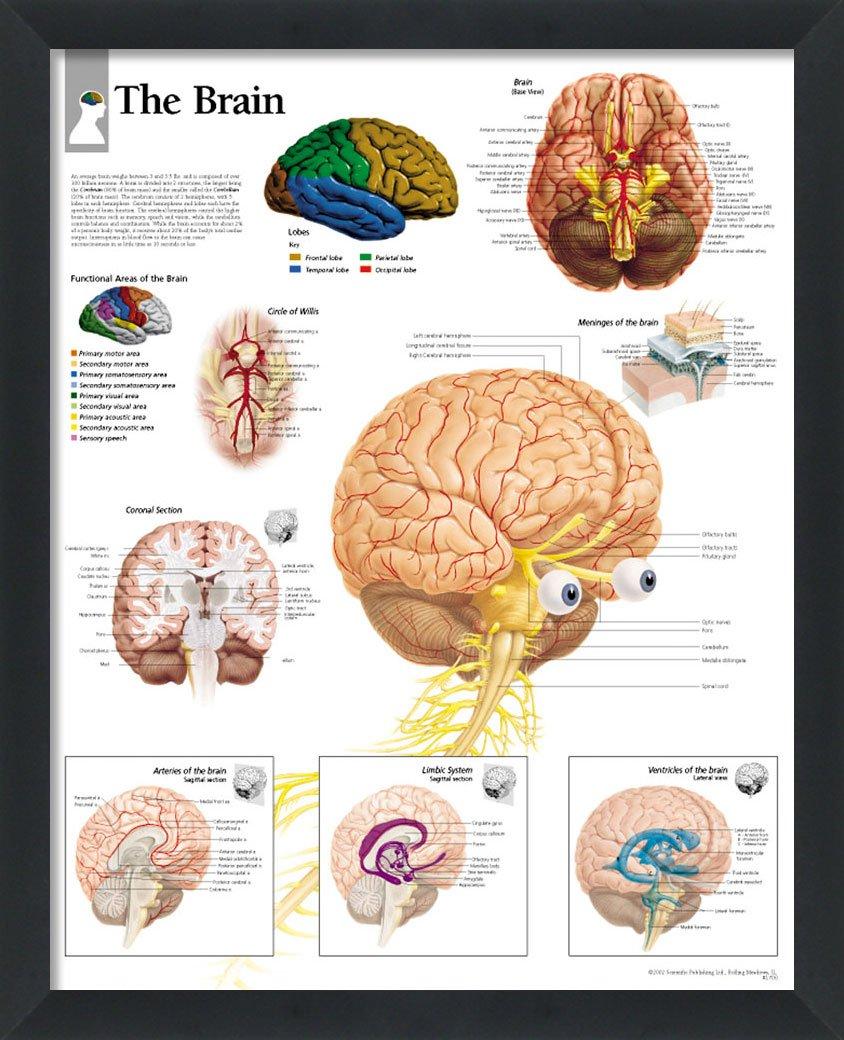 Amazon.com: wallsthatspeak The Brain Framed Medical Educational ...